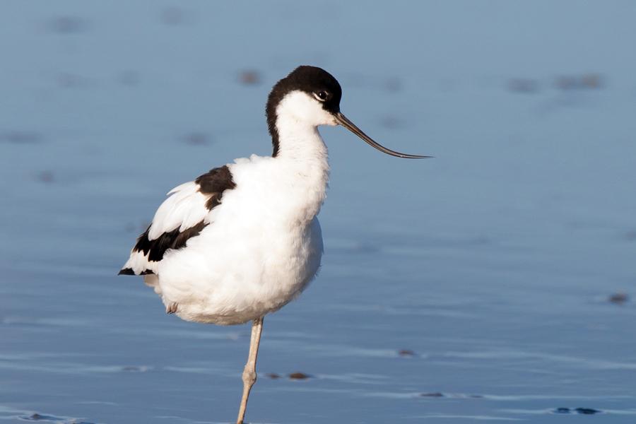 Avocet, Devon Birdwatching