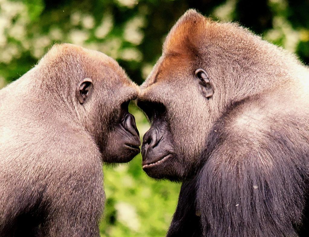 Gorillas at Paignton Zoo